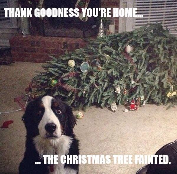 Fainting Christmas tree dog