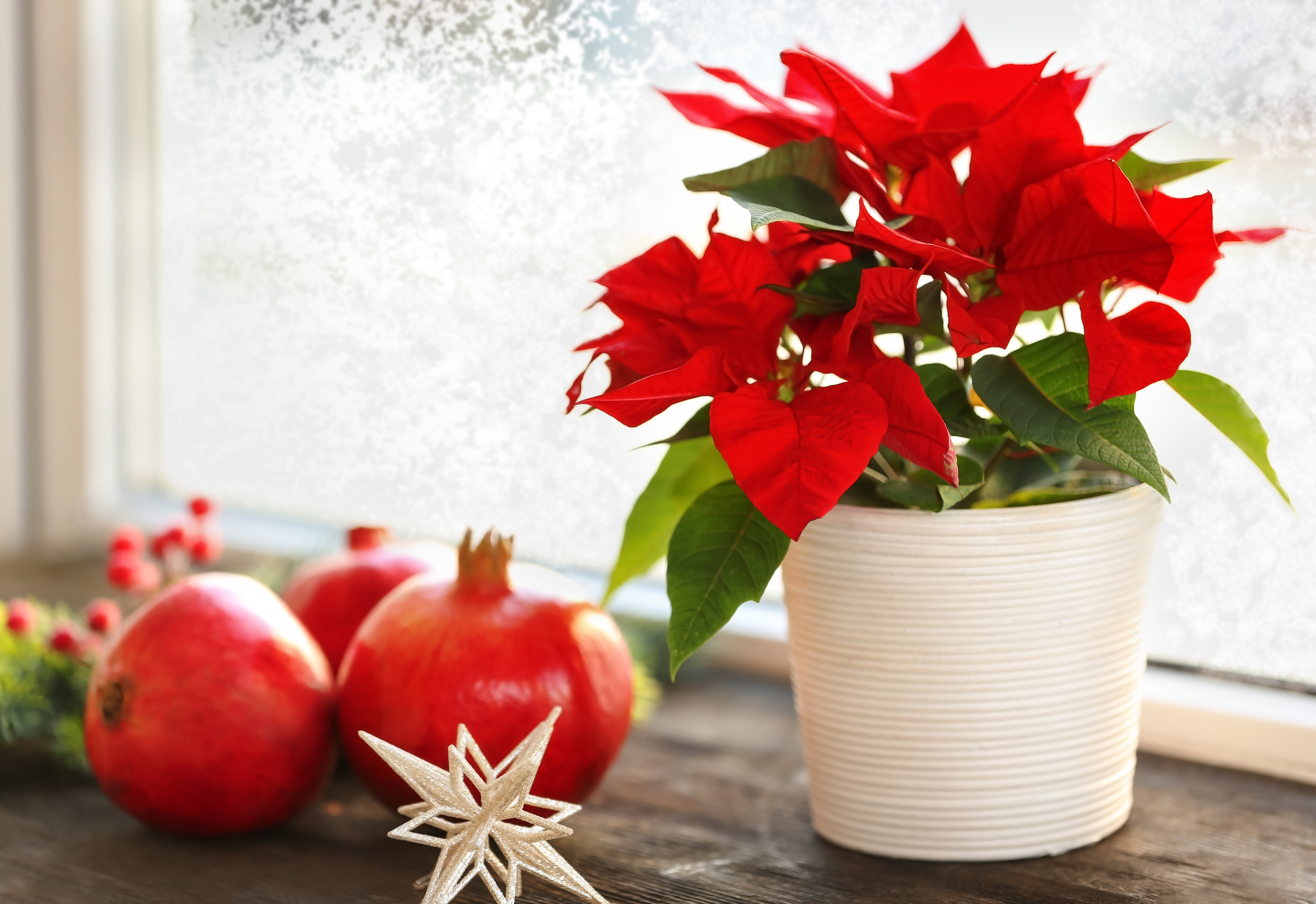 Poinsettia is poisonous to dogs